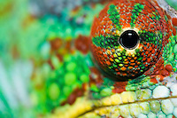 close-up of male panther chameleon eye