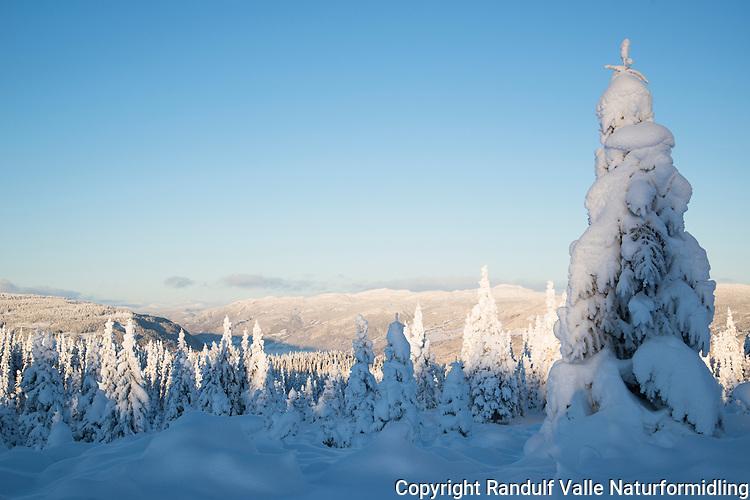 Snøkledd vinterskog. Utsikt fra Follebukjølen mot Gudbrandsdalen. ---- Forest on a fine winter day.