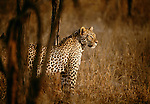 Leopards are possibly the most intelligent of the great cats, Londolozi National Park, South Africa