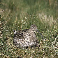 Curlew Numenius arquata - at nest. L 53-58cm. Large, distinctive wader with a long, downcurved bill. Call is evocative of lonely, windswept uplands during spring and summer, and coasts in winter. Sexes are similar although male has shorter bill than female. Adult has mainly grey-brown plumage, streaked and spotted on neck and underparts; belly is rather pale. Juvenile is similar but it looks overall more buffish brown, with fine streaks on neck and breast and appreciably shorter bill. Voice Utters a characteristic curlew call and bubbling song on breeding grounds. Status Locally common breeding species on N and upland habitats. Almost exclusively coastal outside breeding season.