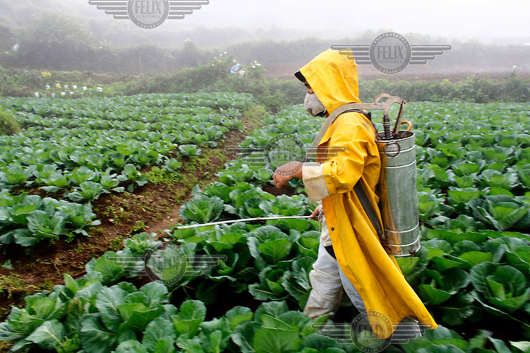 A farm labourer sprays a field of cabbages with insecticide in Pactil.