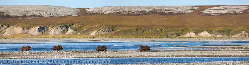 Panorama of Muskoxen along the Sagavanirktok river on the Arctic Coastal Plains, Alaska.