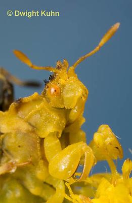 AM10-512z  Ambush Bug, female face, close-up of eyes, beak and antennae, Phymata americana
