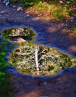 Refelctions of trees in the puddles on the Suprise and Amphithetaer Lakes trail in Grand Teton National Park, Wyoming.