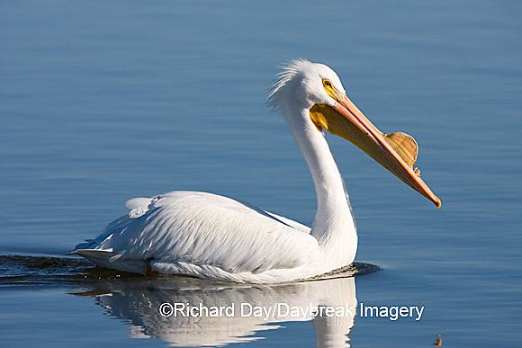 00671-008.15 American White Pelican (Pelecanus erythrorhynchos)  Riverlands Environmental Demonstration Area,  MO