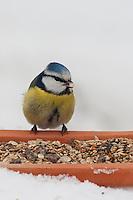 Blaumeise, an der Vogelfütterung, Fütterung im Winter bei Schnee, frisst Körner am Boden aus einer Schale, Winterfütterung, Blau-Meise, Meise, Cyanistes caeruleus, Parus caeruleus, blue tit