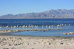 Salton Sea SRA, white pelicans