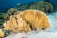 Blade fire coral, Millepora complanata,  Bonaire, Netherland Antilles, Netherlands, Caribbean Sea, Atlantic Ocean