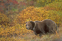 Grizzly Bear in autumn, Denali National Park, Alaska