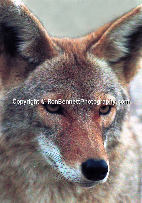 Coyote, Coyote, Canis latrans, prairie wolf, North America, barking dog, coyote, Animal, wild animals, domestic animals,  Fine Art Photography, Ronald T. Bennett, Ron Bennett Photo, animals in the wild, farm animals, Ovis canadensis, Bighorn sheep, North America, Siberia, mountain sheep, Rocky Mountain Bighorn Sheep, Sierra Nevada Bighorn Sheep, Desert Bighorn Sheep, Peninsular Bighorn sheep, wild sheep, Dall sheep, Southwestern United States, Fine Art Photography by Ron Bennett, Fine Art, Fine Art photography, Art Photography, Copyright RonBennettPhotography.com ©