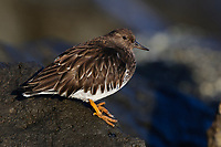 Black Turnstone (Arenaria melanocephala) in basic (winter) plumage. King County, Washington. February.