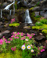 Close up of monkey flowers, and small unamed stream and falls. Mt. Rainier National Park, WA