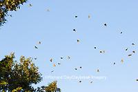 03536-05719 Monarch Butterflies (Danus plexippus) leaving roost in Eastern Red Cedar (Juniperus virginiana)  Prairie Ridge State Natural Area, Marion Co., IL