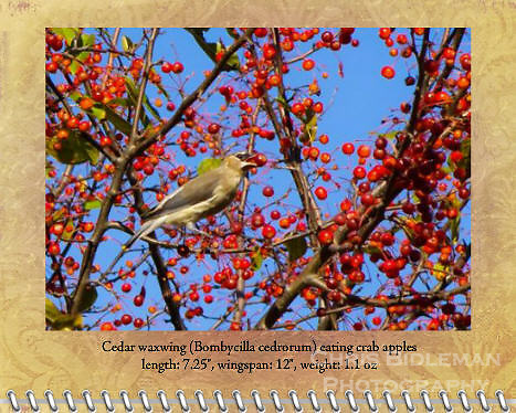 "October of the 2012 Birds of a Feather Calendar.  This photo is called ""Cedar Waxwing in crab apples"" and shows a cedar waxwing (Bombycilla cedrorum) has a crab apple in its mouth in the middle of a crab apple tree in Fall loaded with red fruit with a blue sky background in New England."