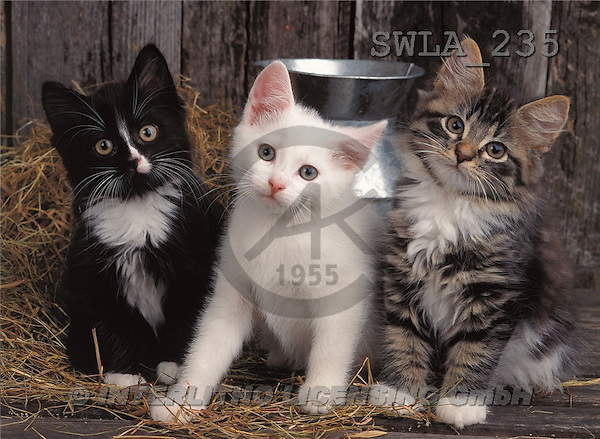 Carl, ANIMALS, photos(SWLA235,#A#) Katzen, gatos