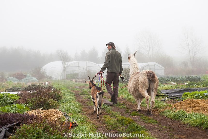 Paul Kaiser leading livestock, llama and goat - Singing Frogs Farm, Sebastopol, California