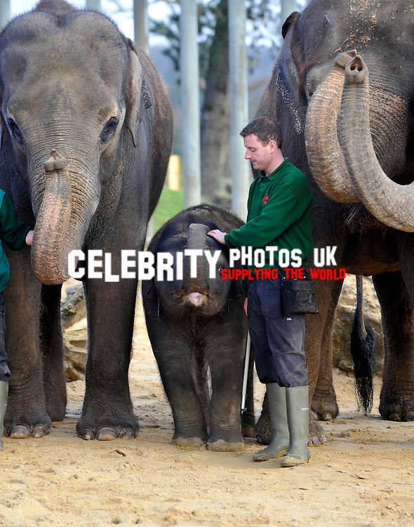 elephants, keepers at Whipsnade Zoo do  their annual stocktake oon January 8, 2013 in Dunstable, England.Picture By: Brian Jordan / Retna Pictures.. ..-..