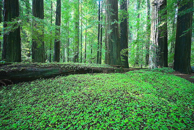 A FRESH GROUND COVER OF CLOVER SURROUNDS THE REDWOOD TREES AT HUMBOLDT REDWOODS STATE PARK IN NORTHERN CALIFORNIA