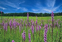 Hair Blazing Star Flowers, wildflowers, Hunterdon County meadow, New Jersey