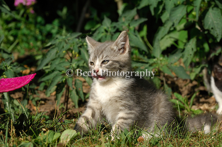 Kitten Plays