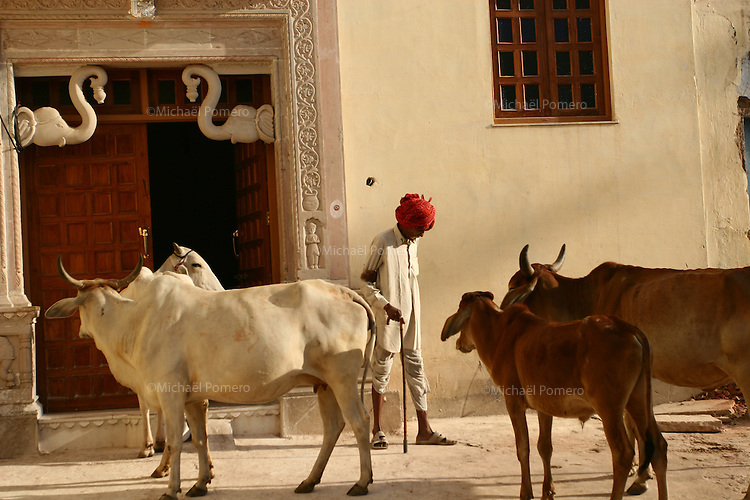 24.10.2008 Bundi(Rajasthan)<br /> <br /> Rajasthani and cows in the street.<br /> <br /> Rajasthani et vaches dans la rue.