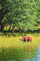 Kor betar vid vassen på Jungfruskär i Stockholms skärgård