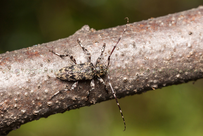 A male flat-faced longhorn beetle (Graphisurus fasciatus) perches on a branch of a fallen oak tree.
