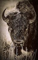 Bison - Antelope Island, Utah - Sepia
