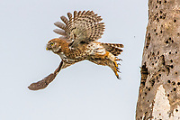 A Cuban Pygmy-Owl explodes from her nest cavity after delivering prey.