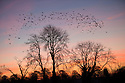 30/11/16<br /> <br /> A flock of rooks, collectively known as a 'parliament of rooks' take to the sky above their rookery near Thorpe in the Derbyshire Peak District at dawn after overnight temperatures plunged to minus five degrees celsius.<br /> <br /> All Rights Reserved F Stop Press Ltd. (0)1773 550665   www.fstoppress.com