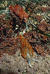 Opalescent nudibranch, Hermissenda crassicornis, Shi Shi Beach, Point of Arches, Olympic National Park;  Olympic Coast National Marine Sanctuary, Washington State, North America, USA,.