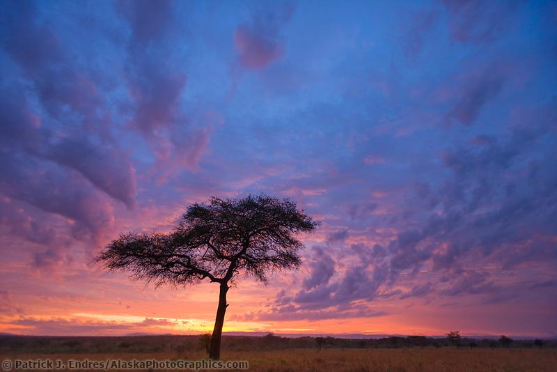 Morning sunrise over the unbrella acacia tree, Masai Mara, Kenya, Africa