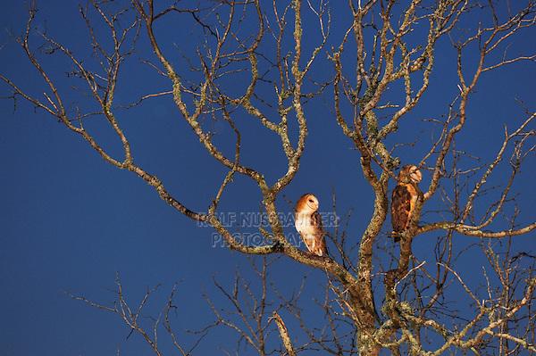 Barn Owl (Tyto alba), adult at night, Dinero, Lake Corpus Christi, South Texas, USA