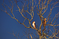 Barn Owl (Tyto alba), adult at night, Dinero, Lake Corpus Christi, South Texas, USA