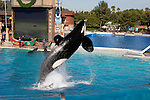 Orca jumping at Sea World in San Diego