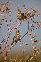 Corn Buntings perching on vegetation, Bagerova Steppe, Kerch Peninsula, Crimea, Ukraine
