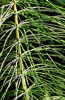 Riesen-Schachtelhalm, Riesenschachtelhalm, Schachtelhalm, Equisetum telmateia, great horsetail, northern giant horsetail