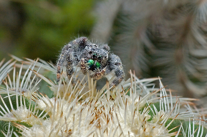 346500009 a wild jumping spider fam salticidae perched on cactus plant in the texas hill country texas