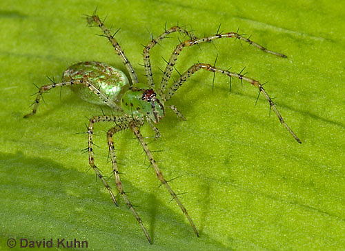 "0205-07oo  Green Lynx Spiderling  - Peucetia viridans  ""Eastern Variation"" - © David Kuhn/Dwight Kuhn Photography"