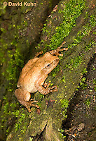 0302-0910  Spring Peeper Frog Climbing Mossy Tree Bark, Pseudacris crucifer (formerly: Hyla crucifer)  © David Kuhn/Dwight Kuhn Photography