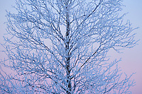Mid winter colours in -39 degrees C, near the Icehotel in Jukkasjärvi, Lapland, Laponia, Norrbotten county, Sweden