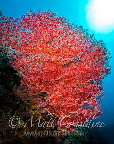 Sunburst behind fragile fan coral, Palau Micronesia. (Photo by Matt Considine - Images of Asia Collection) (Matt Considine)