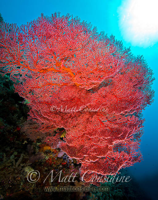 Sunburst behind fragile fan coral, Palau Micronesia. (Photo by Matt Considine - Images of Asia Collection)