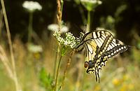 Schwalbenschwanz, Eiablage, Schwalben-Schwanz, Papilio machaon, Old World Swallowtail, common yellow swallowtail, swallowtail, swallow-tail, Le Machaon, Grand porte-queue