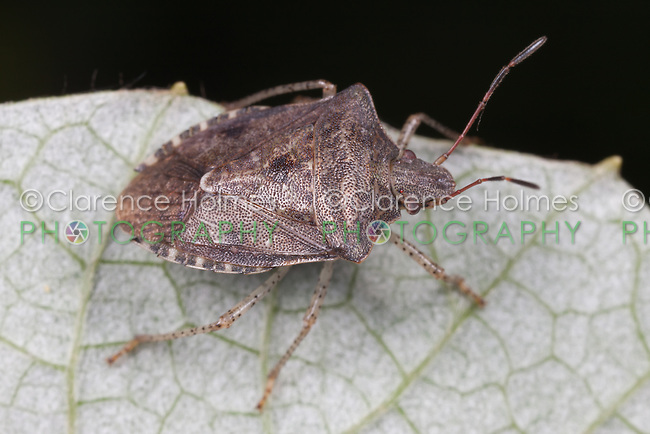 Dusky Stink Bug (Euschistus tristigmus), West Harrison, Westchester County, New York