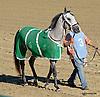 Sand Victor before The Delaware Park Arabian Juvenile Championship (grade 3) at Delaware Park on 9/27/14
