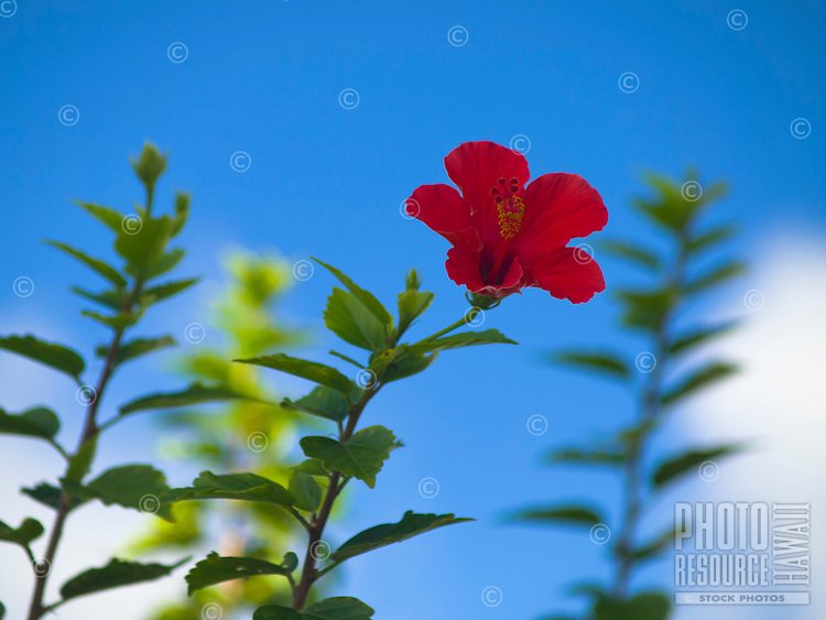 A red hibiscus flower against the blue morning sky, Big Island.