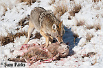 Coyote feeding on a bighorn sheep lamb carcass during winter. Yellowstone National Park, Wyoming.