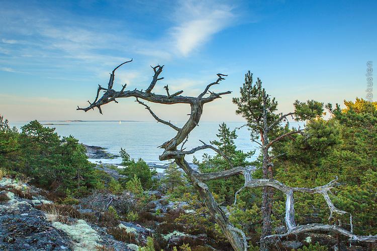 Torrfura på Järflotta i Stockholms södra skärgård vid havet.