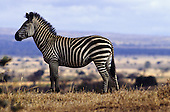 Mikumi Park, Tanzania. Wildlife safari reserve; single zebra in savannah.